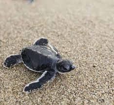 500 Leatherback Turtles Released in the Spirit of Merdeka